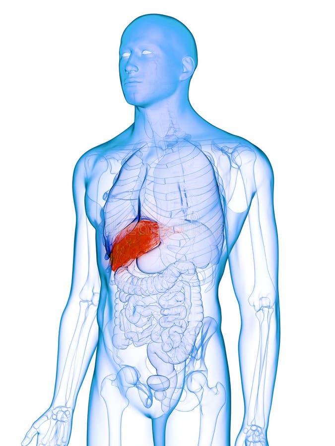 Un fegato malato illustrazione vettoriale