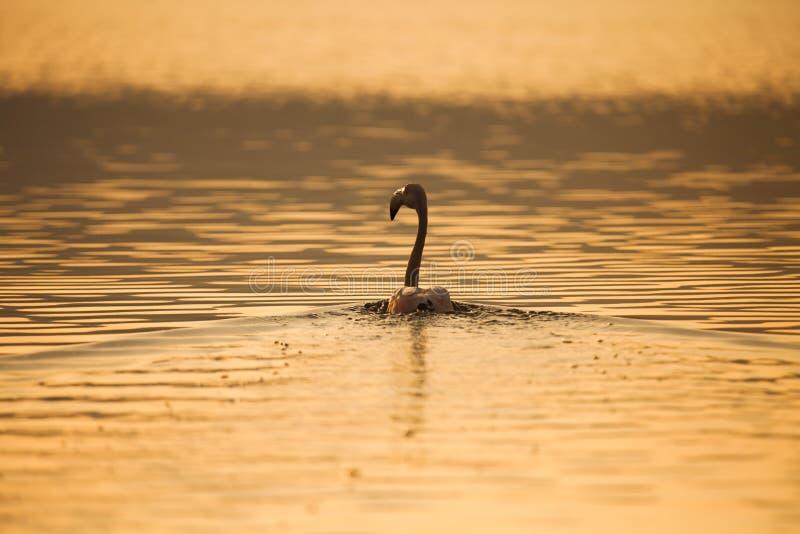 Un fenicottero in acqua del lago al tramonto immagine stock
