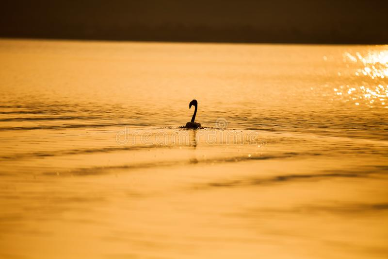 Un fenicottero in acqua del lago al tramonto fotografia stock libera da diritti