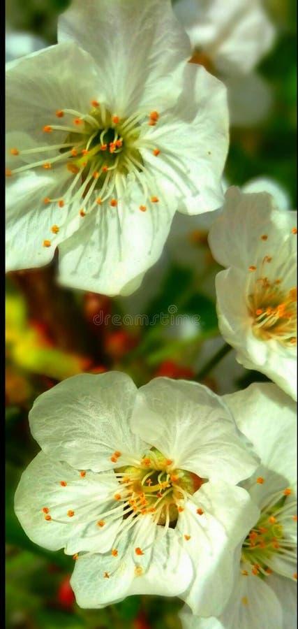 Un fiore bianco nel giardino fotografie stock