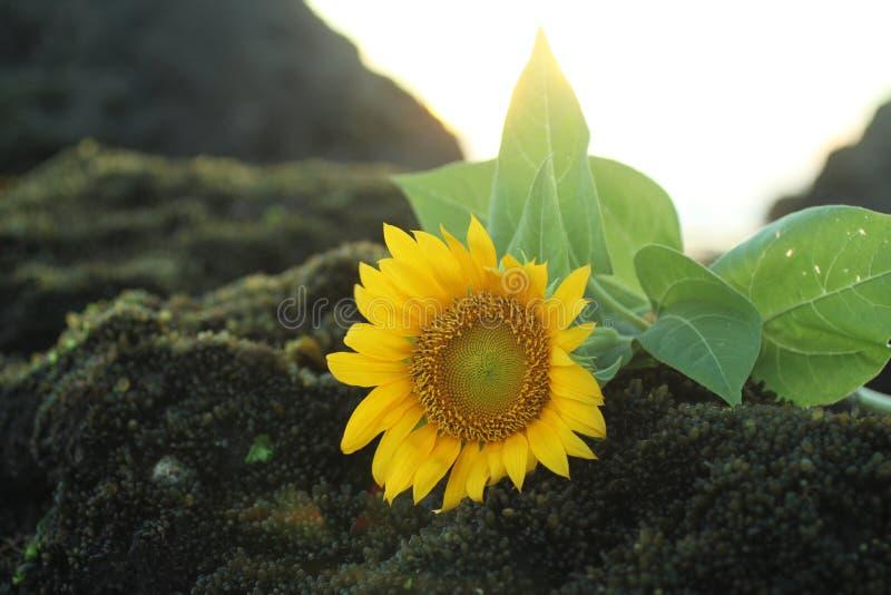 Un fiore capo del bello girasole che mette sul fondo della roccia del mare Spazio della copia per gli elementi di progettazione d fotografie stock