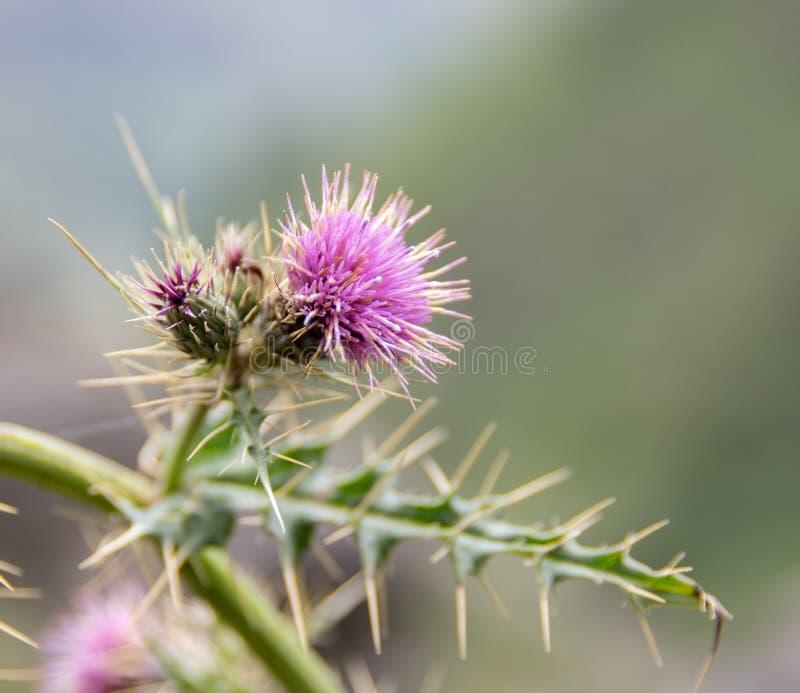 Un fiore del cardo selvatico immagine stock