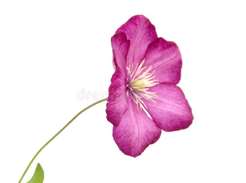 Un fiore del Clematis del giardino (bower del virgin) immagini stock