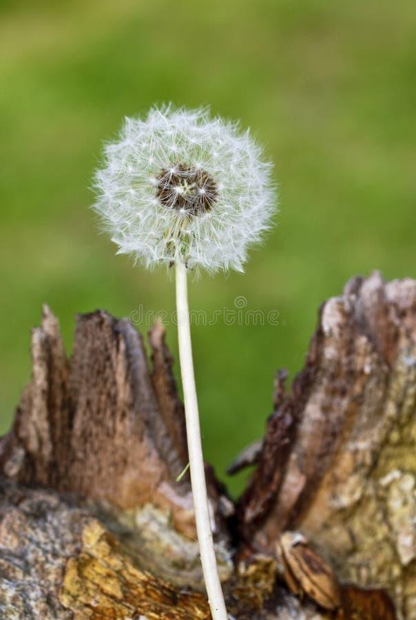 Un fiore del dente di leone fotografie stock