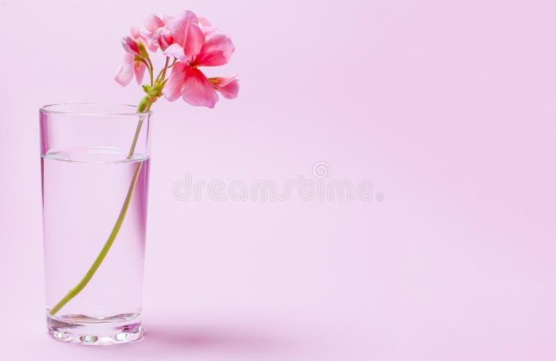 Un fiore del geranio dei supporti di corallo di colore in un becher di vetro con chiara acqua contro un fondo di un colore di cor immagini stock