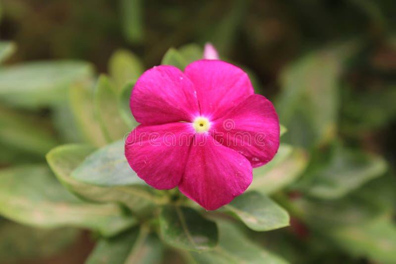 Un fiore del giardino con un fondo vago fotografia stock