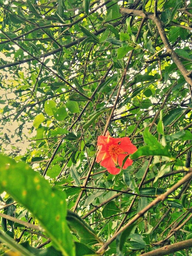 Un fiore del melograno fotografie stock libere da diritti