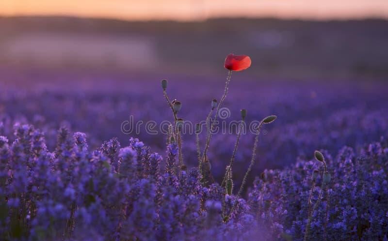 Un fiore del papavero nel giacimento della lavanda fotografie stock libere da diritti
