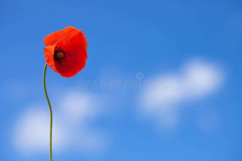 Un fiore del papavero rosso selvatico sul fondo del cielo blu fotografie stock libere da diritti