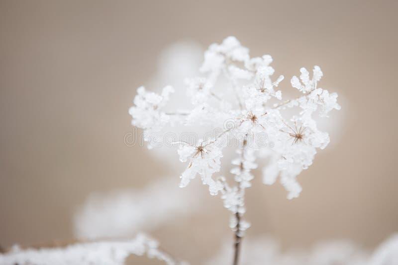 Un fiore del pizzo del ` s della regina anne coperto in un bello gelo ghiacciato fotografie stock
