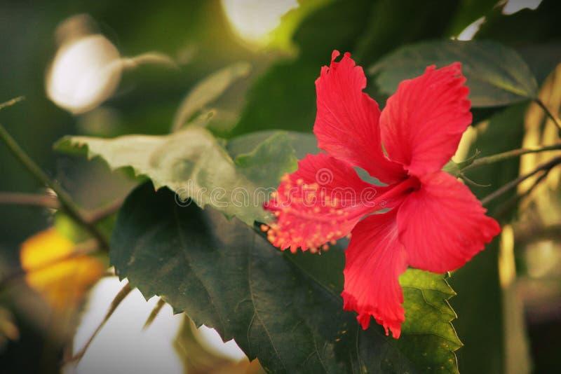 Un fiore dell'ibisco fotografia stock libera da diritti