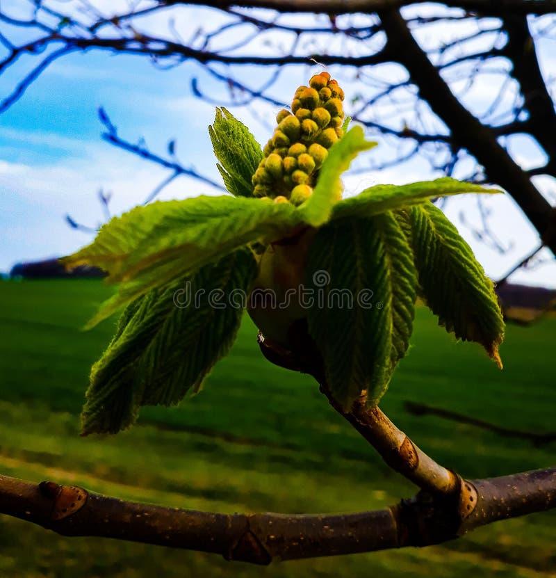 Un fiore della castagna fotografia stock