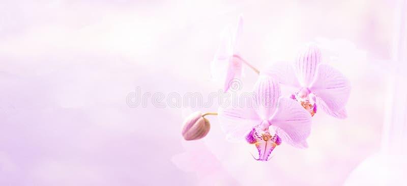 Un fiore della fine rosa magnifica dell'orchidea su Fuoco selettivo Struttura orizzontale Macro dello sfondo naturale dei fiori f fotografie stock libere da diritti
