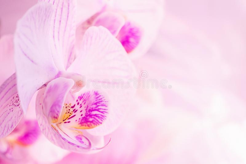 Un fiore della fine rosa magnifica dell'orchidea su Fuoco selettivo Struttura orizzontale Macro dello sfondo naturale dei fiori f fotografia stock