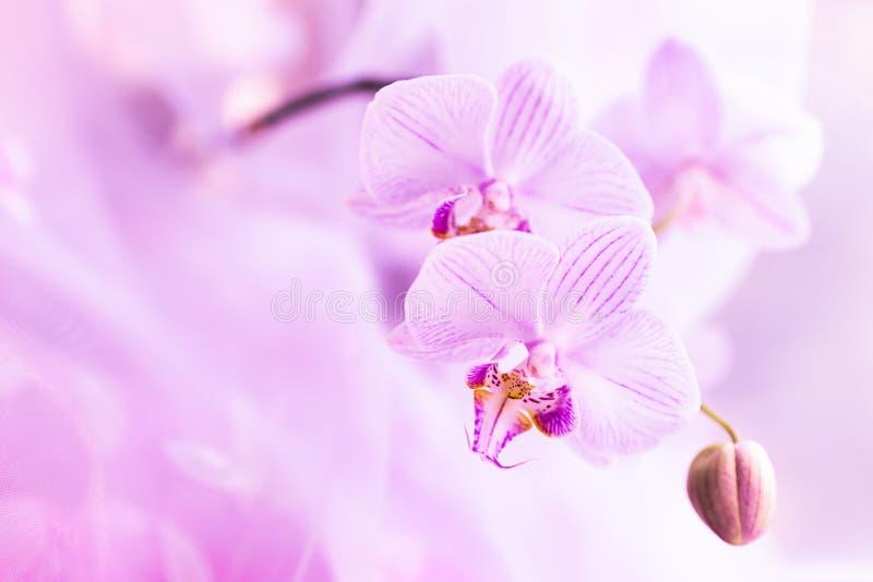 Un fiore della fine rosa magnifica dell'orchidea su Fuoco selettivo Struttura orizzontale Macro dello sfondo naturale dei fiori f immagine stock
