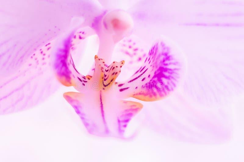 Un fiore della fine rosa magnifica dell'orchidea su Fuoco selettivo Struttura orizzontale Macro dello sfondo naturale dei fiori f fotografia stock libera da diritti