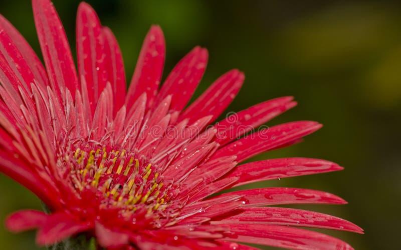Un fiore della gerbera fotografia stock