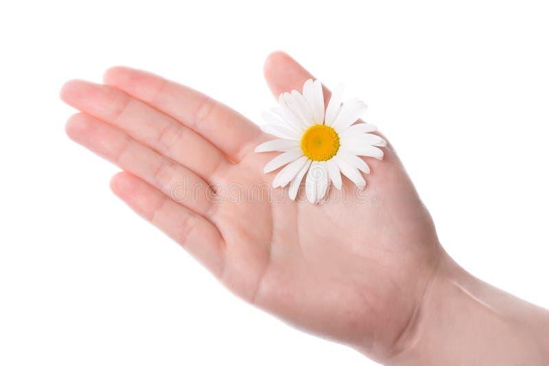 Un fiore della margherita della holding della mano delle donne fotografia stock libera da diritti