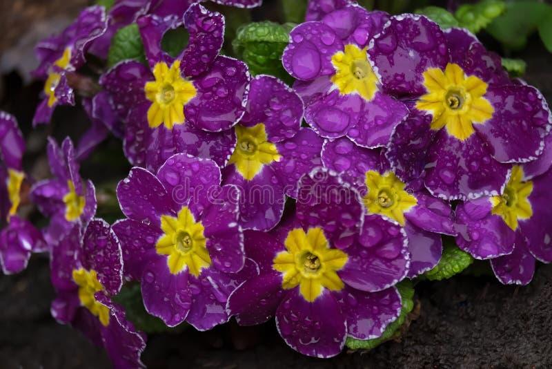 Un fiore della primaverina porpora nelle goccioline di pioggia immagini stock libere da diritti