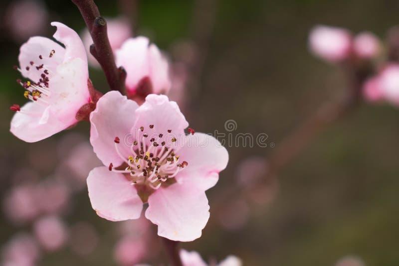 Un fiore di ciliegia ha perso in un villaggio a distanza della Spagna immagine stock