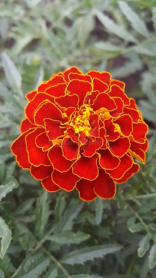 Un fiore di due colori immagini stock libere da diritti