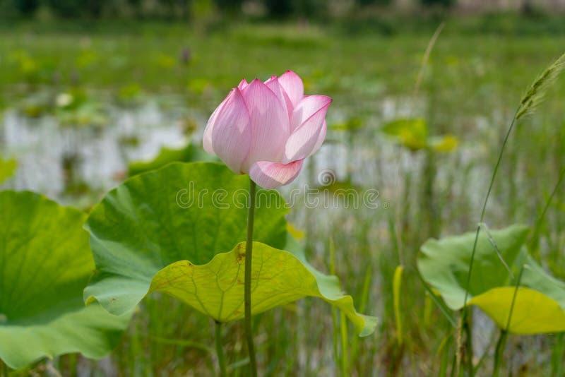 Un fiore di loto che sta aprendosi in uno stagno fotografie stock