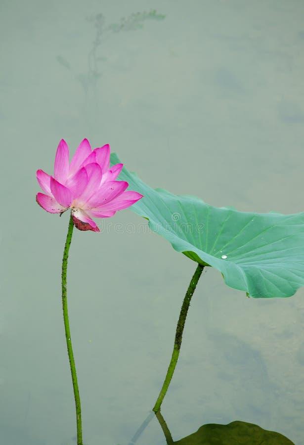 Un fiore di loto di fioritura fotografia stock libera da diritti