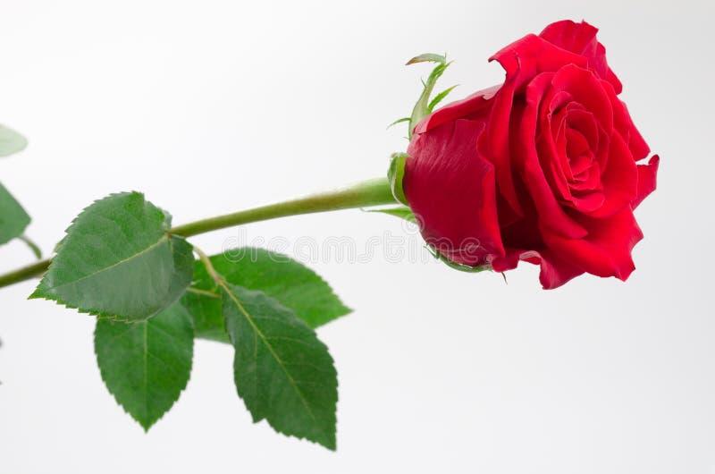 Un fiore di rosa immagine stock libera da diritti