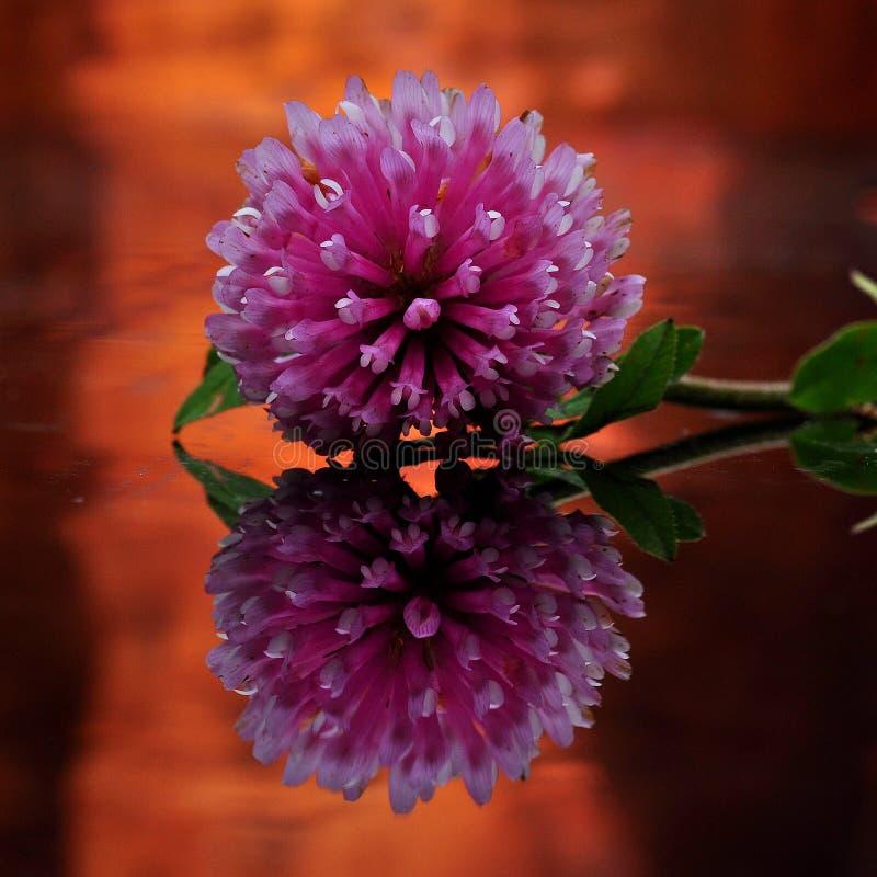 Un fiore di trifoglio nell'immagine di specchio fotografie stock libere da diritti