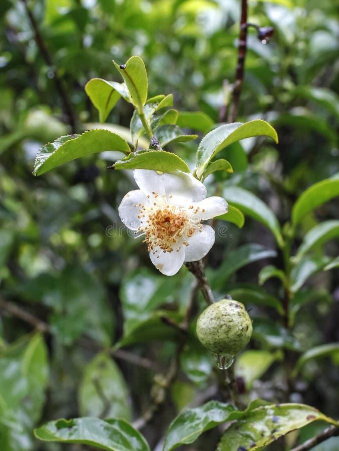 Un fiore fresco del tè verde immagini stock
