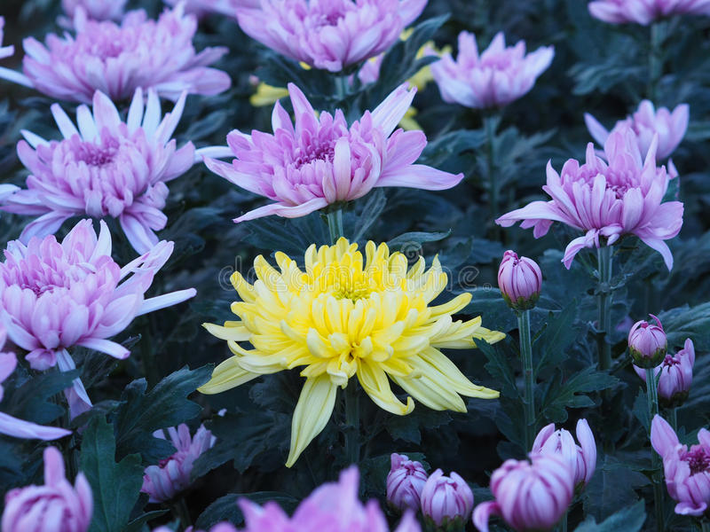 Un fiore giallo del crisantemo fra gli altri colori della viola in a immagine stock libera da diritti