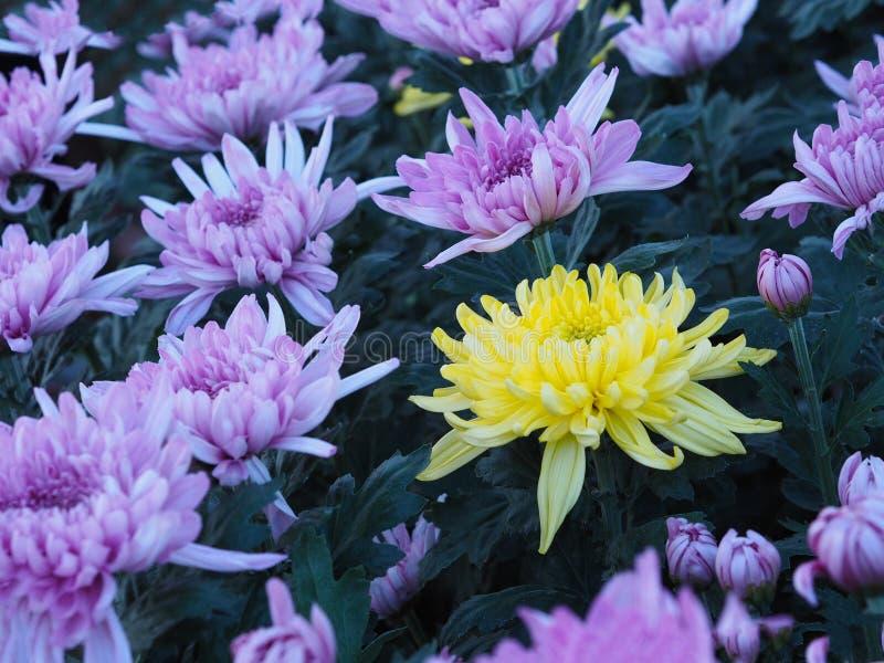 Un fiore giallo del crisantemo fra gli altri colori della viola in a immagini stock libere da diritti
