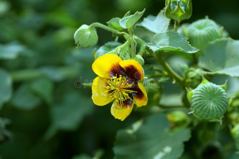 Un fiore giallo della malva indiana del ` s di Palmer con i baccelli verdi del seme fotografie stock