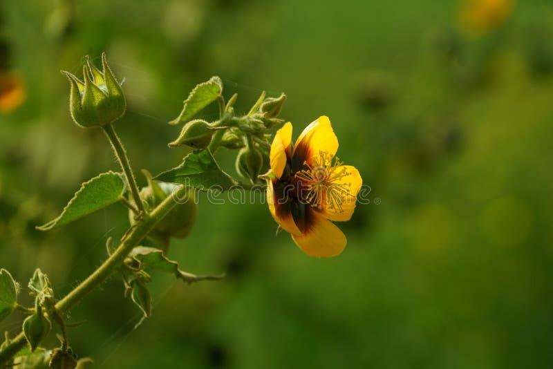 Un fiore giallo della malva indiana del ` s di Palmer con i baccelli verdi del seme fotografia stock