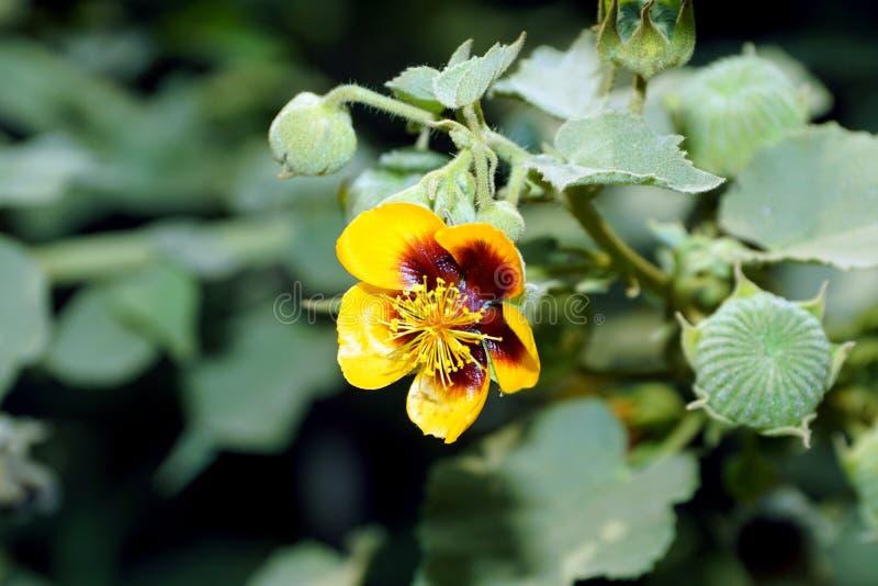 Un fiore giallo della malva indiana del ` s di Palmer con i baccelli verdi del seme fotografia stock libera da diritti