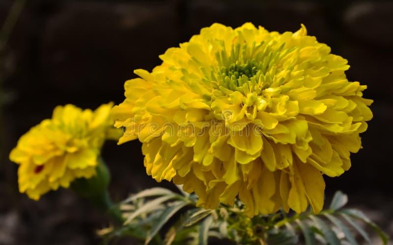 Un fiore giallo di genda immagine stock