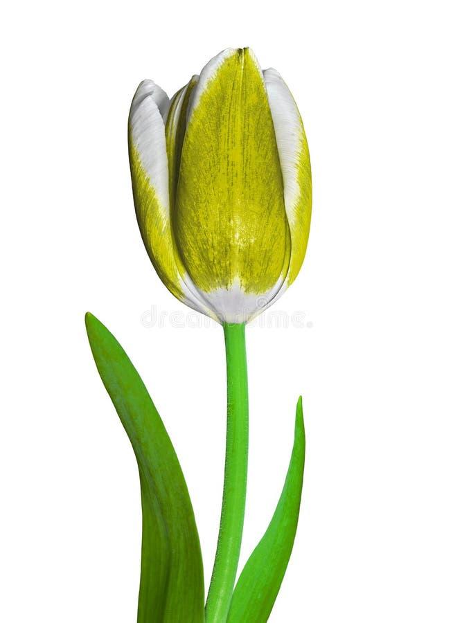 Un fiore giallo e bianco del tulipano isolato su un fondo bianco Primo piano Germoglio di fiore su un gambo verde con le foglie fotografia stock