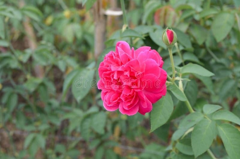 Un fiore magenta con il fondo della pianta fotografia stock libera da diritti