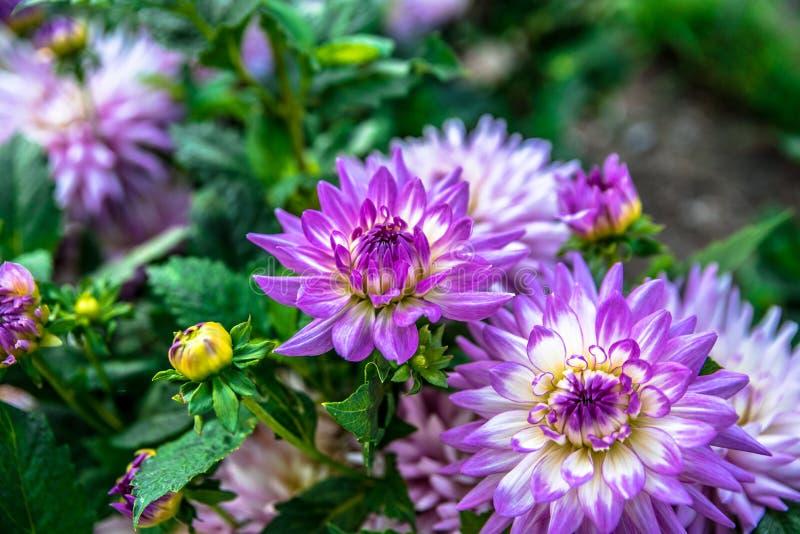 Un fiore meravigliosamente di fioritura nel giardino immagine stock