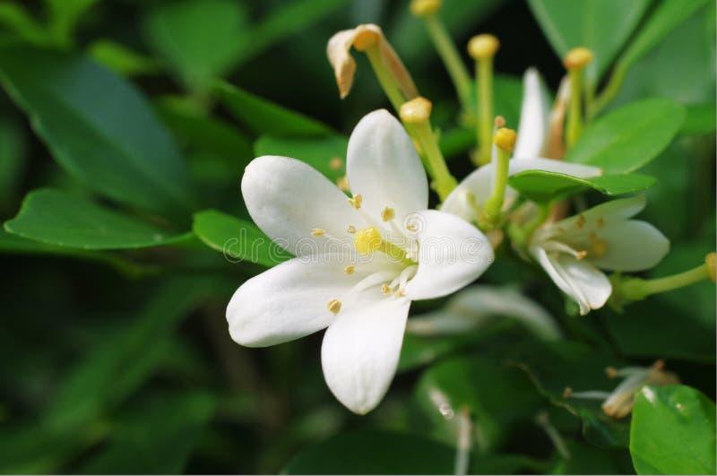 Un fiore molto fragrante fotografia stock libera da diritti