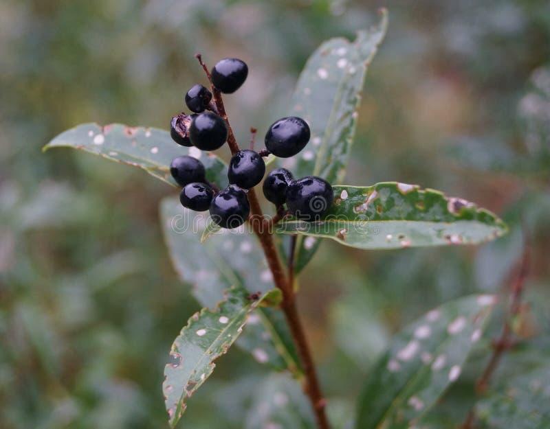 Un fiore piacevole con le bacche nere fotografia stock libera da diritti