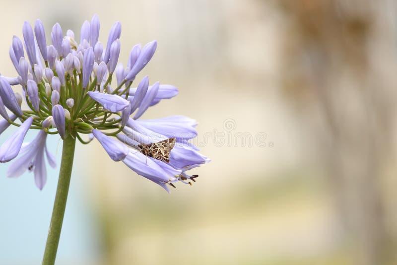 Un fiore porpora con una farfalla di Brown fotografia stock