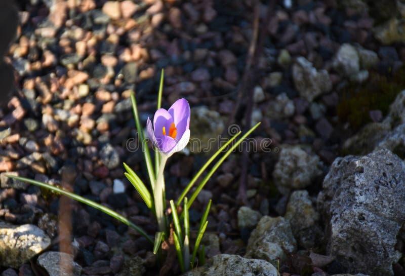 Un fiore porpora nelle pietre fotografia stock libera da diritti