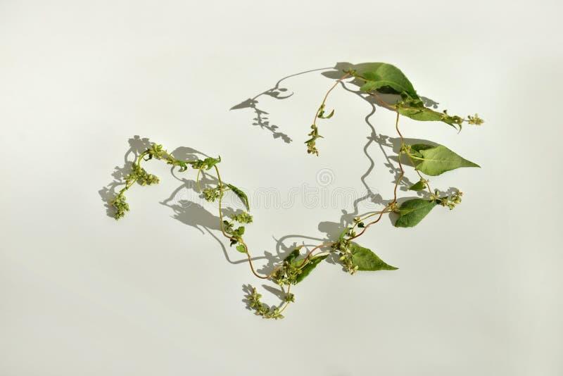 Un fiore riccio su un fondo bianco è illuminato dal sole immagine stock