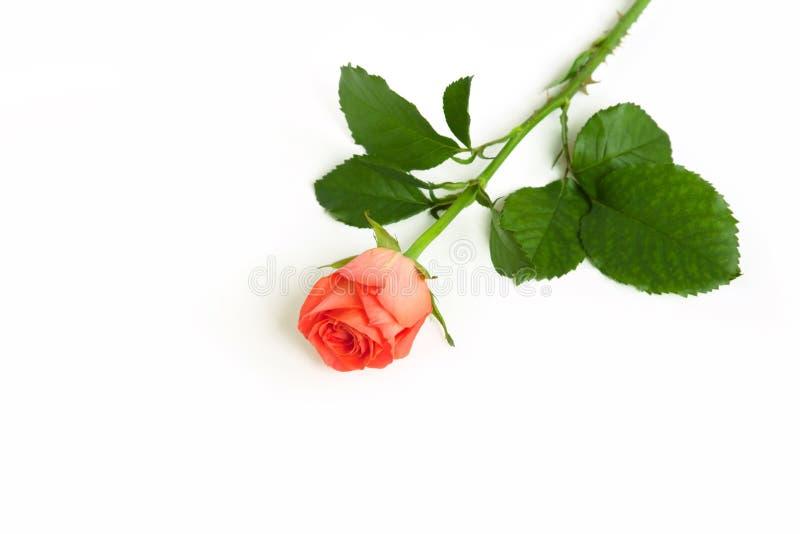 Un fiore rosa dell'arancia su fondo isolato bianco immagini stock libere da diritti