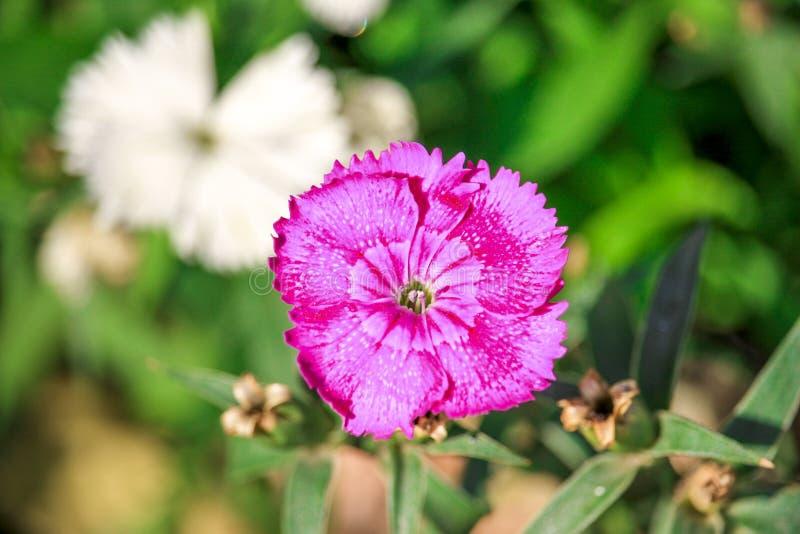 Un fiore rosa di Deltoide del Dianthus immagini stock