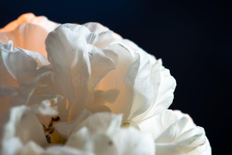 Un fiore rosa sbocciante con i petali bianchi, su un fondo nero, si è acceso dalla fiamma di una candela immagini stock libere da diritti