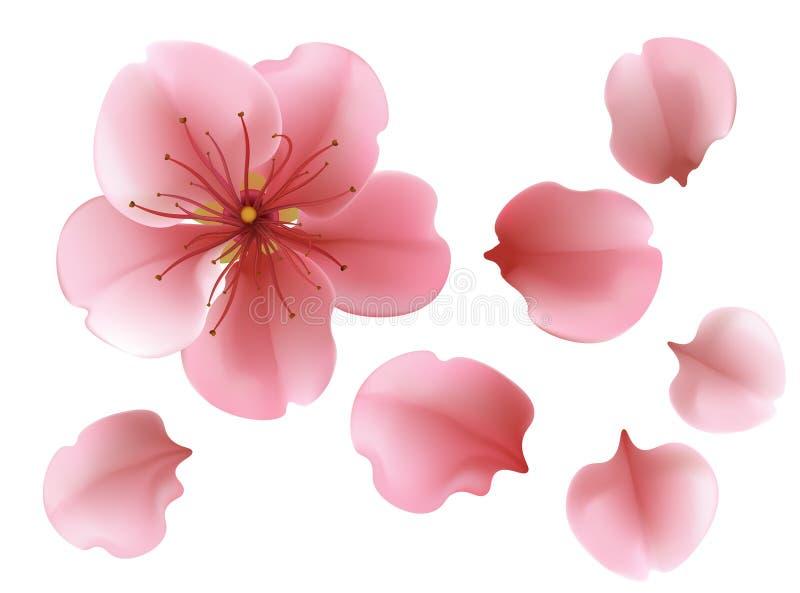 Un fiore rosa sbocciante del ciliegio di sacura contro fondo bianco illustrazione vettoriale