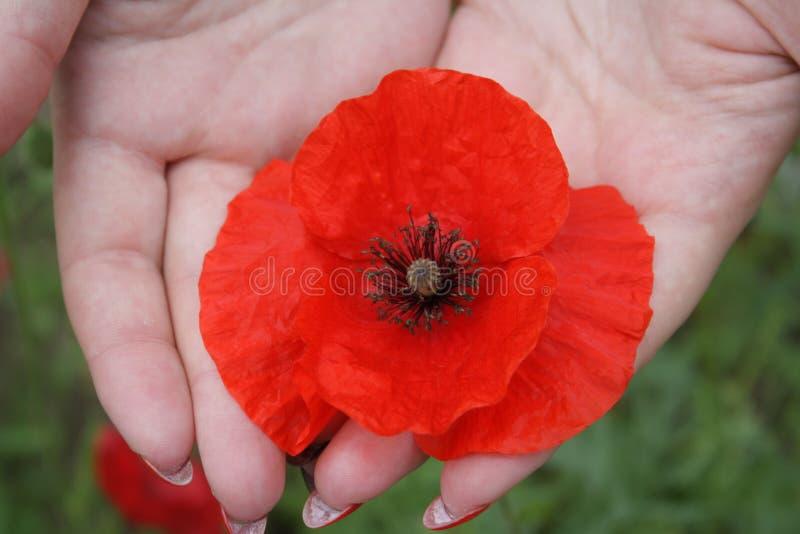Un fiore rosso del papavero in mani, si chiude sulla vista fotografia stock