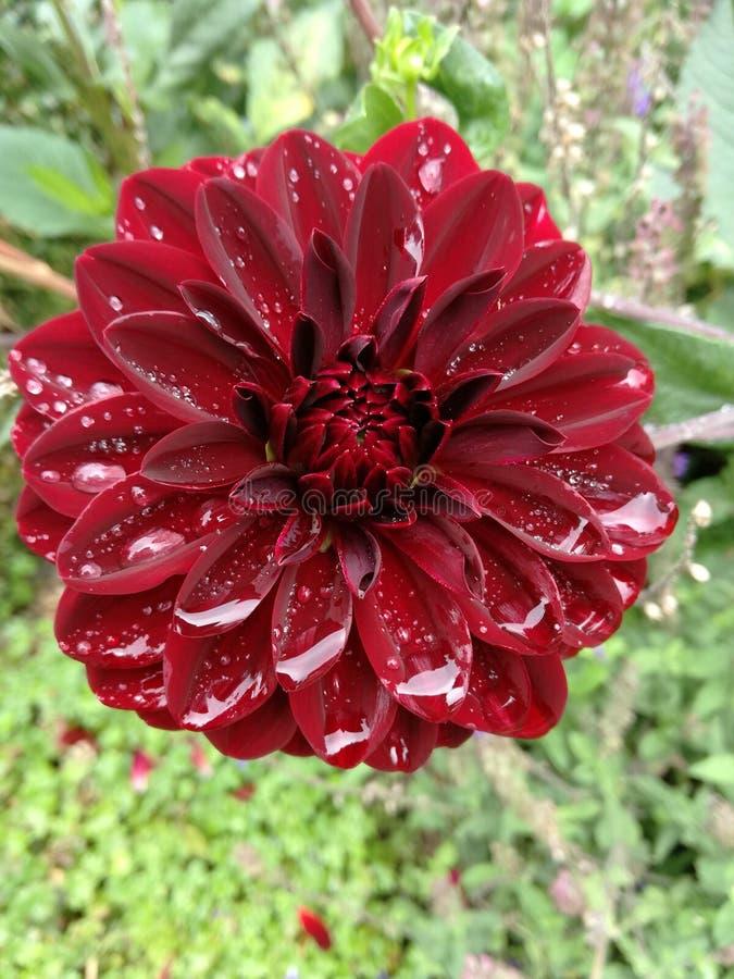 Un fiore rosso dopo una certa pioggia fotografia stock